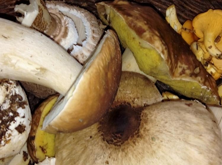 Gobarska sezona: najbolj strupene in tudi smrtno nevarne so gobe iz skupin mušnic
